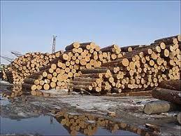 cedar pine trees