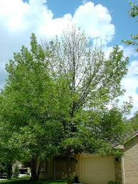emerald ash trees