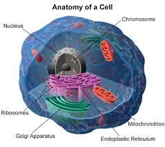 mitochondrial genes