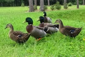 breed of ducks