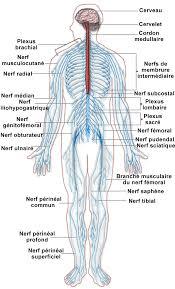 body nerves