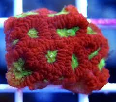 frag coral