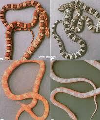 corn snakes pets