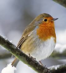 picture of robin