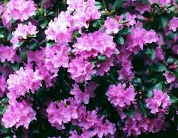 pjm rhododendrons