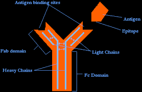 antigen epitope