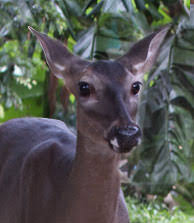 rainforest deer