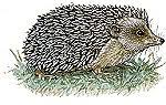 jan brett hedgehog