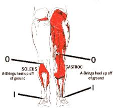 muscles in the calf