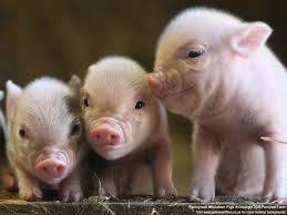 pictures of baby pigs
