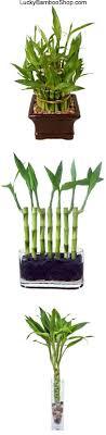 bamboo houseplant