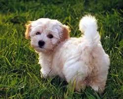 havanese silk dog