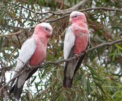 galah birds