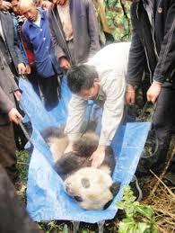 giant pandas food chain