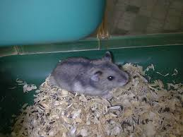 cute hamsters for sale