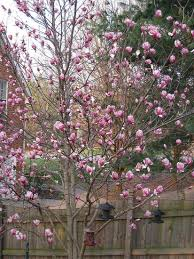 japanese tulip tree