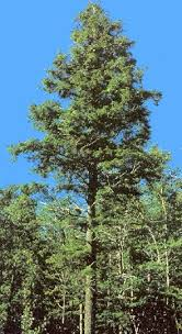 picture of hemlock tree