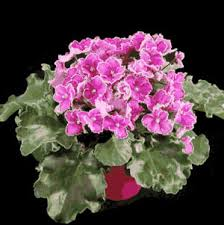 african violet picture