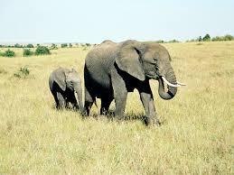 kenya elephant