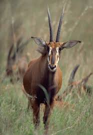 antelopes pictures