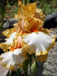 bearded iris pictures