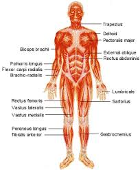 human muscles diagrams