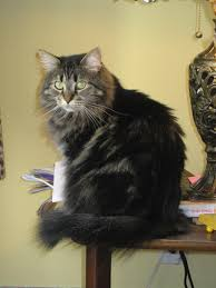 agouti cat