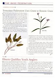 american willow