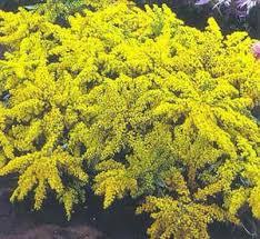 golden rod plant