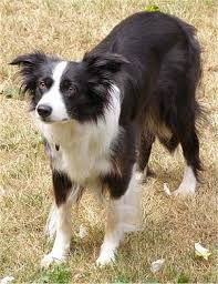 border collies pictures