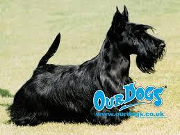 scottish terrier wallpaper