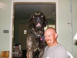 brindle english mastiff