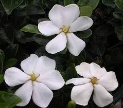 external image Gardenia%2520jasminoides%2520%27Kleim%27s%2520Hardy%27.jpg