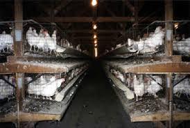 chicken egg farms
