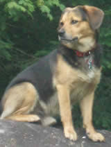 beagle pomeranian mix