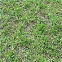 grass spots