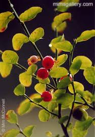 pictures of huckleberries