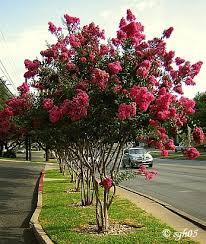 grape myrtle trees