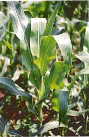 corn stalk images