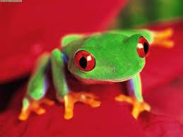 amazon rainforest frogs