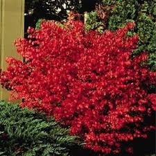 burning bush compacta