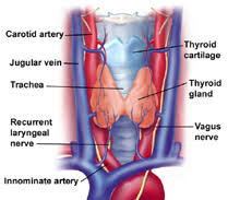isthmus of thyroid