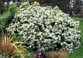 flower shrubs
