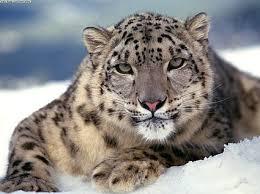 picture snow leopard