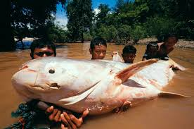 pictures of giant catfish