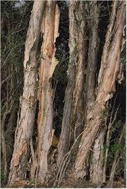 melaleuca tree
