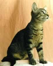 brazilian shorthair cat