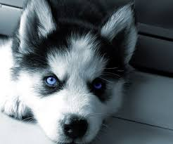 husky puppy wallpaper