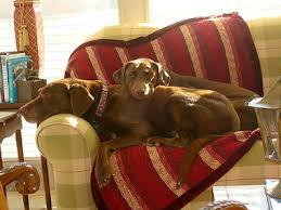 brown labs dogs