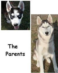 husky puppies for free